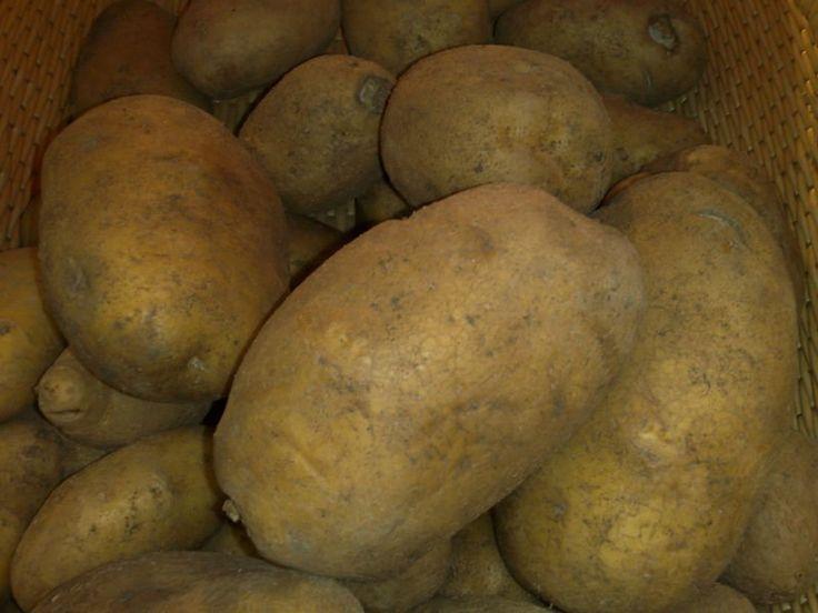 Αρχείο:Ποικιλία πατάτας Agria.jpeg