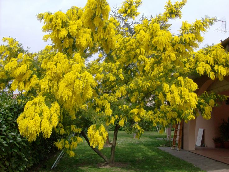 28 best Mimosa images on Pinterest | Yellow flowers ...