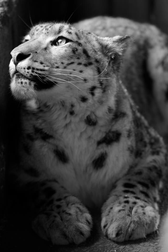 Snow leopard..How could you NOT love this face!