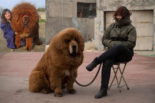 Cão da raça Mastiff Tibetano - A raça mais cara do mundo  Lembra-se dele? Veja o antes e o depois de um tratamento de alisamento capilar (brincadeira). Esta raça é uma das mais caras do mundo. Um empresário do ramo do carvão chegou a pagar cerca de R$ 2,5 milhões (US$ 1,5 milhão) por um animal de 11 anos.