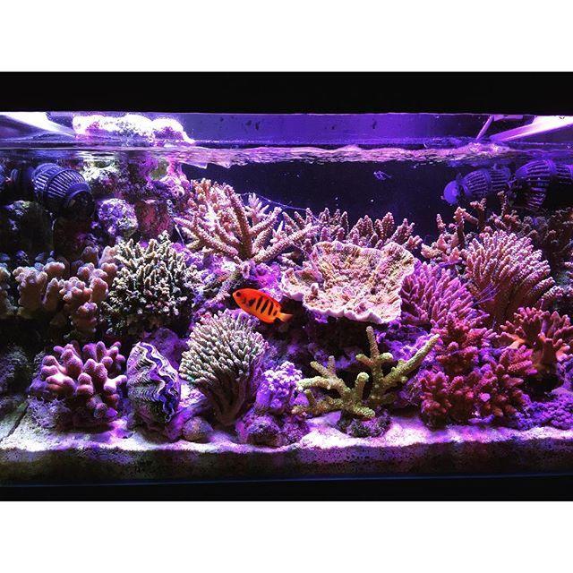 【muchan225】さんのInstagramをピンしています。 《#aquarium #reeflife #reefpack #reeftank…  #macroalgae #algae #seaweed #marinetank #reeftank #saltwatertank #marineaquarium #reefaquarium #saltwateraquarium #aquarium #seahorses #seahorsetank #seahorseaquarium #marineplants #marinealgae #saltwateralgae #livealgae