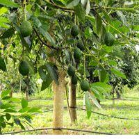 Bacon Avocado Tree
