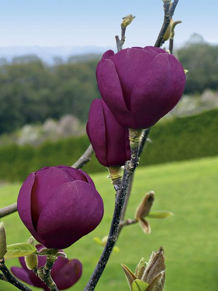 Magnolia Black Tulip - Deep burgundy-purple, tulip-like flowers that grow up to 15cm in diameter, crowd the slender stems before the larger than average leaves emerge each spring. It is one of the darkest flowering of all the magnolias and it is quite simply gorgeous. Use it as a feature plant in a spring garden and underplant with an array of spring-flowering bulbs for a jaw-dropping display.