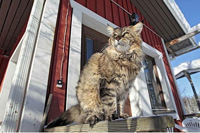 Kissoilla on kevättä rinnassa. Katso lisää kuvia klikkaamalla kuvaa.  Kuva: Jarmo Kontianen