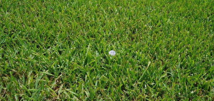 * Raleigh St. Augustine » The Grass Outlet