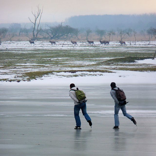 Photo of two skaters on the sea of ice at the Oostvaardersplassen gliding along the Red deers. The Dutch nature reserve Oostvaardersplassen is located between Almere and Lelystad.