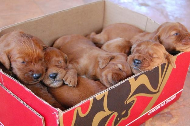 When I was 8, my Irish Setter, Colleen, had a litter of pups that looked just like these...and she had five!
