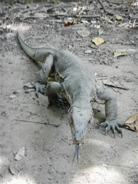 Monitor Lizard at Pulau Sapi  http://www.inspirawtion.com/pulau-sapi.html