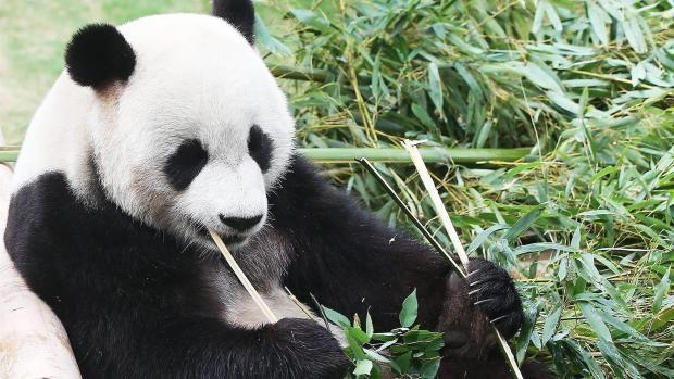 Kræsne pandaer kræver 60 kg bambus om dagen | Nyheder | DR #zoo_copenhagen #zoo #panda
