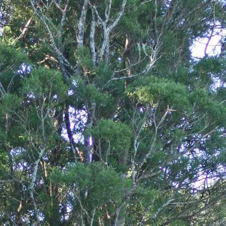 Prumnopitys taxifolia - Matai | Southern Woods