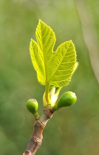 Fig leaves and fruit: the beginning of spring