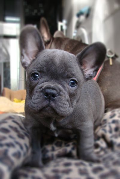 Kukula, the Blue French Bulldog Puppy