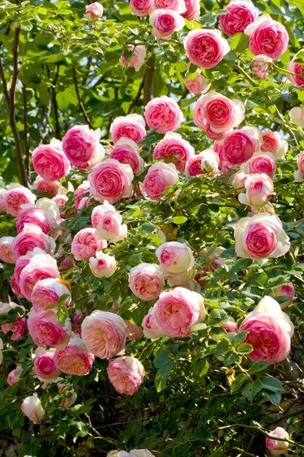 MEILLAND  - Climbing rose, 'Eden', also known as 'Pierre de Ronsard', grows with companion plant, clematis.  A meililand varietal with sweet light scent, few thorns, limited growth so won't over take the garden.