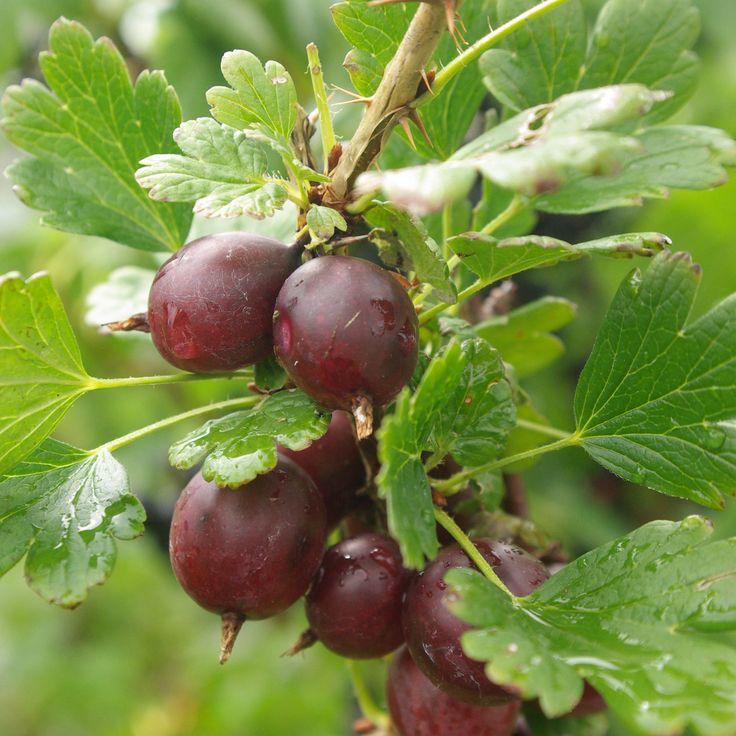 72 best images about gooseberries on pinterest gardens gooseberry jam and fruit plants. Black Bedroom Furniture Sets. Home Design Ideas