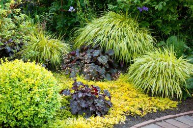 """Shade loving plants...Golden Japanese Forest Grass This shade loving grass is amazing as a ground cover or a focal point in the shady garden. Be aware, if planted in the sun, some varieties can be a bit invasive. Look for the name """"Aureola"""" or """"Golden"""". Loves moist soil and is deer resistant, looks ah-mazing planted with blue-green hostas. Grows to about 18 inches by 18 inches."""