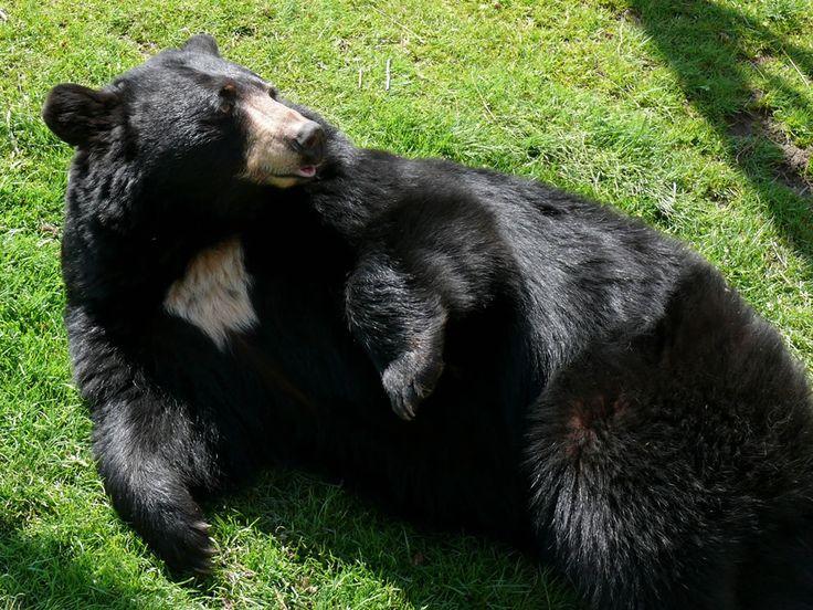 An American Black Bear (Ursus americanus) at the Grandfather Mountain Animal Habitat