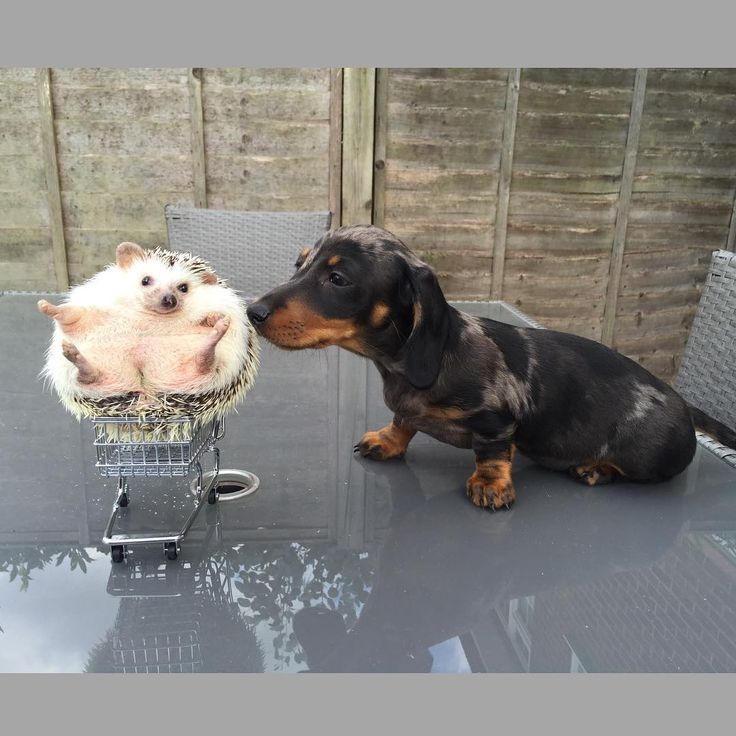 Doxie sniffing at a hedgehog