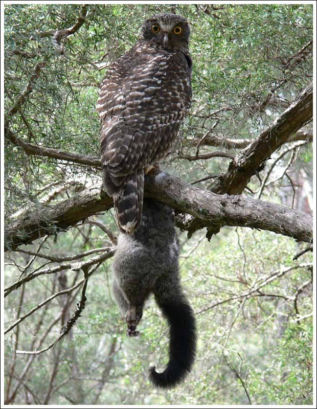 Great Horned Owl Prey On Small Dogs