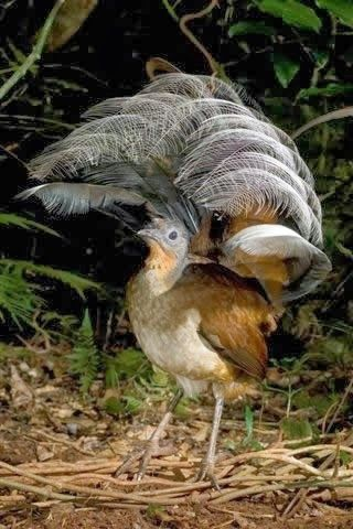 Lyre Bird, Australia | Menura novaehollandiae/ Depicted here because of its  pheasant-like appearance.