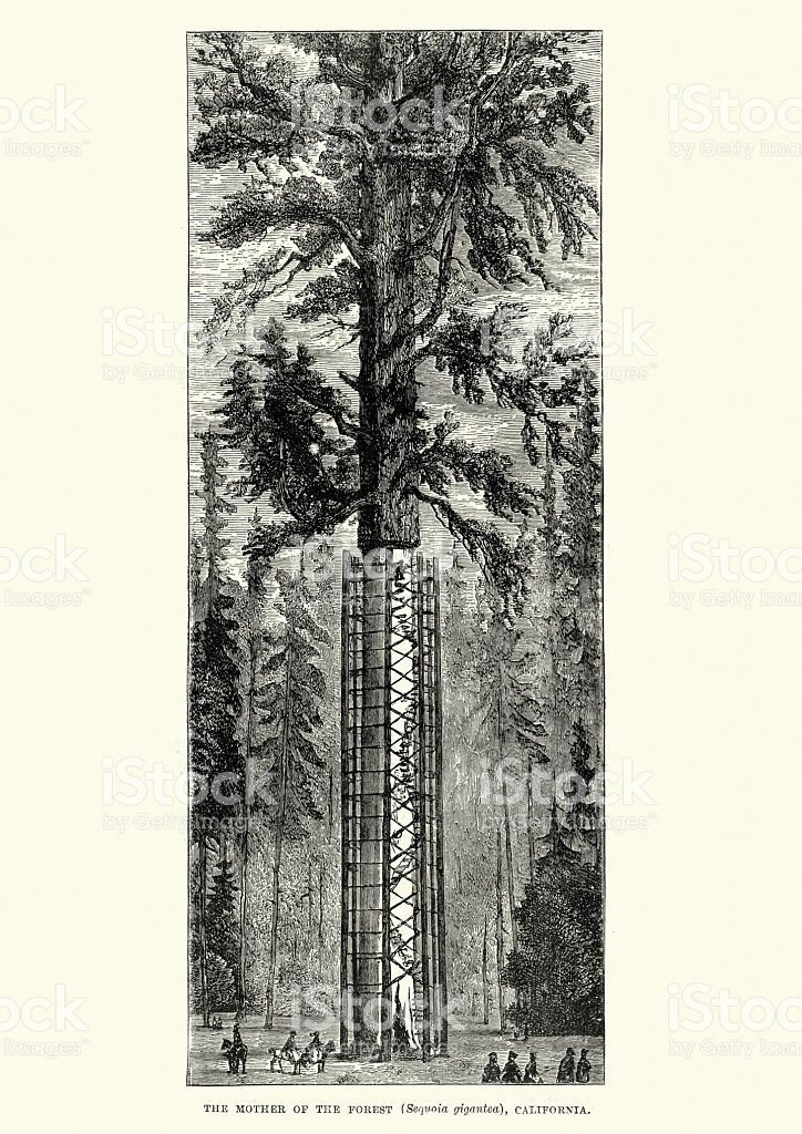 Image result for giant sequoia illustration