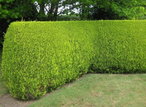 10 Fast Growing Hedges For Privacy Garden Hedges