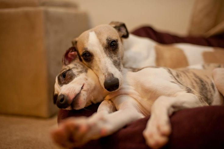 Two exahausted Whippet dogs.