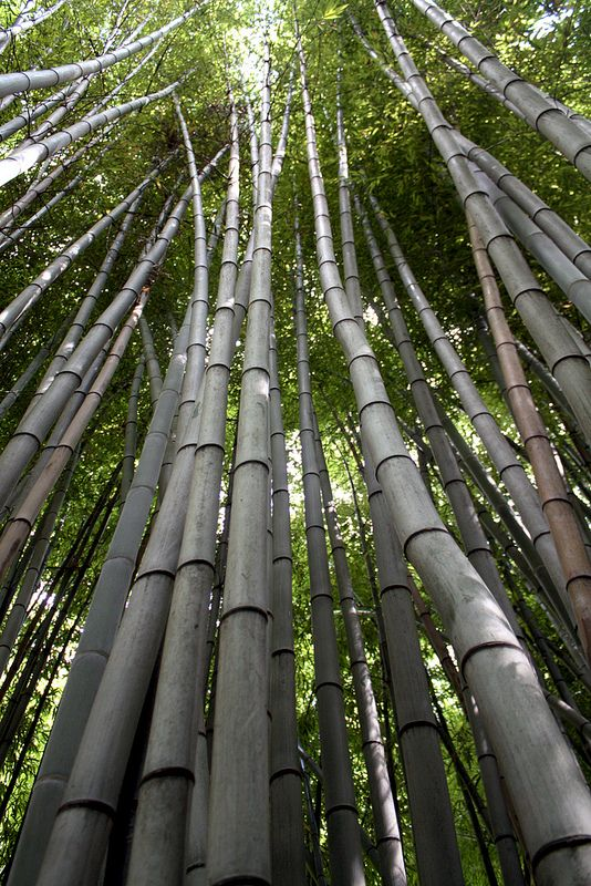 Bamboo Forest, Cherokee North Carolina 006 | by Gary Koutsoubis