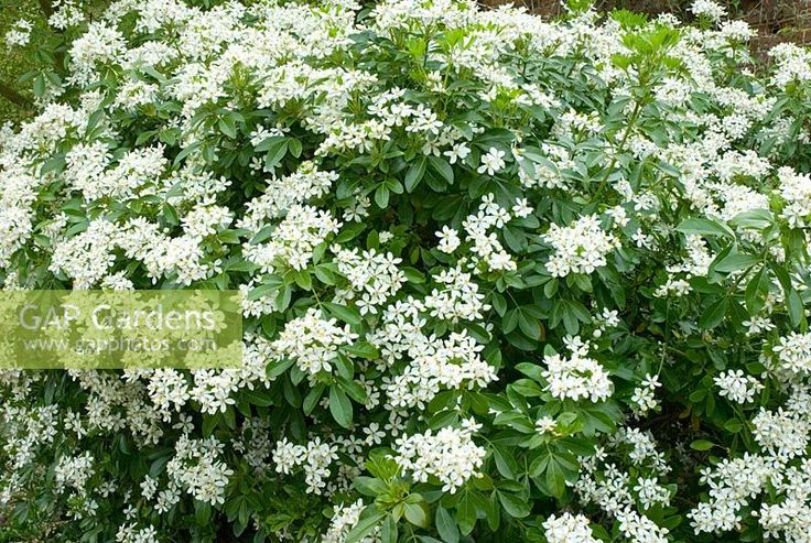 Mock Orange for pots to break up areas; choisya ternata aztec pearl = Glossy dark green leaves and clusters of fragrant, pink-tinged white flowers in late spring