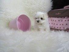 Cachorro Bichon Maltes Macho