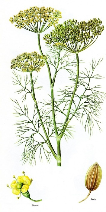 "Dill is a short-lived perennial herb which represented wealth to the ancient Greeks.  During the Middle Ages, dill was believed to possess magical powers and could destroy evil spells. In fact, the name is derived from the old Norse word ""dilla"" meaning ""to lull"" because it was used to lull babies to sleep, and as an antidote to witchcraft and sorcery. A drink made from dill leaves was the remedy for anyone who believed that a witch had cast a spell on them."