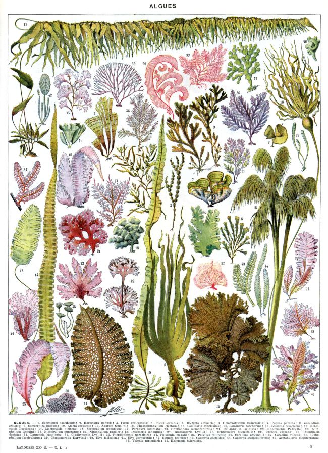 Adolphe Millot algues