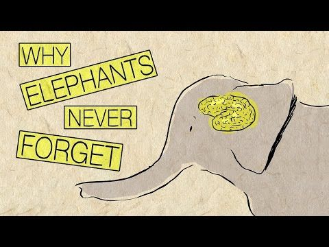 Why elephants never forget - Alex Gendler   TED-Ed