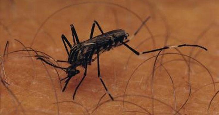 Cómo tratar picaduras de mosquito infectadas. El verano y los mosquitos van de la mano con el calor de la temporada. Vuelan muy cerca del agua entre el atardecer y el amanecer. Las hembras necesitan sangre para que sus huevos sobrevivan, y usualmente nosotros somos sus desafortunados blancos. Los mosquitos transmiten enfermedades de contagio sanguíneo tales como dengue, fiebre amarilla, ...