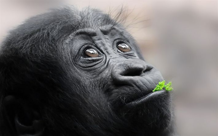 Download wallpapers monkey, portrait, wildlife, little gorilla, forest