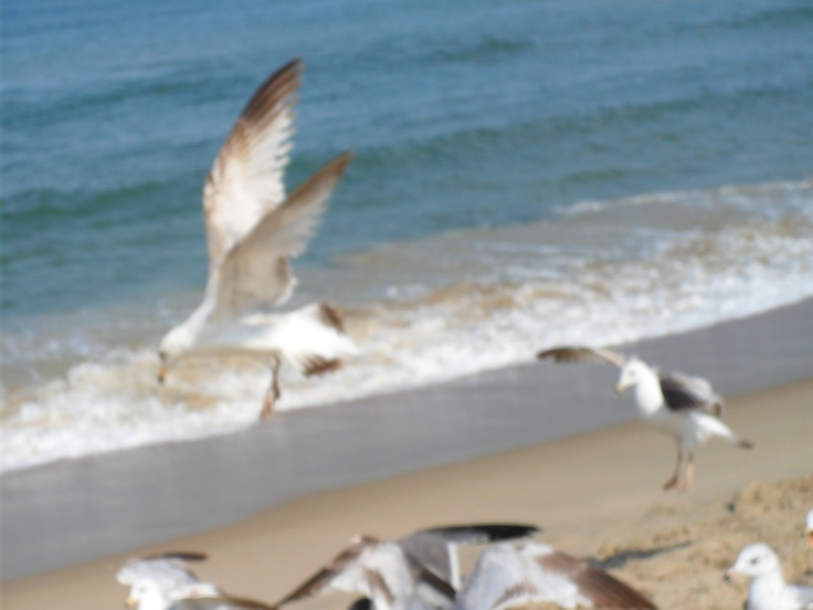 Seagulls @ Virginia Beach