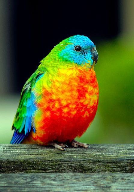 Rainbow fluff hahaGrass Parakeets, Colors Photography, Rainbows Colors, Vibrant Colors, Real Beautiful, Pretty Birds, Beautiful Birds, Colors Birds, Animal
