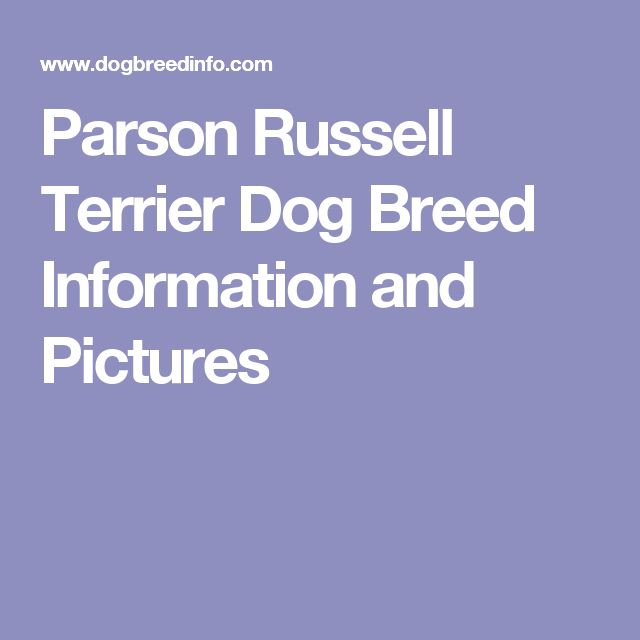 Parson Russell Terrier Dog Breed Information and Pictures