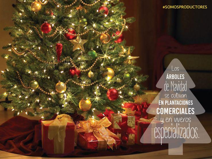 Los árboles de navidad se cultivan en plantaciones comerciales y en viveros especializados. SAGARPA SAGARPAMX #SomosProductores