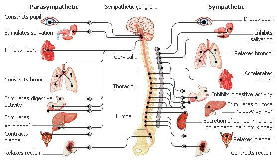Many with EDS develop autonomic nervous system disorders...