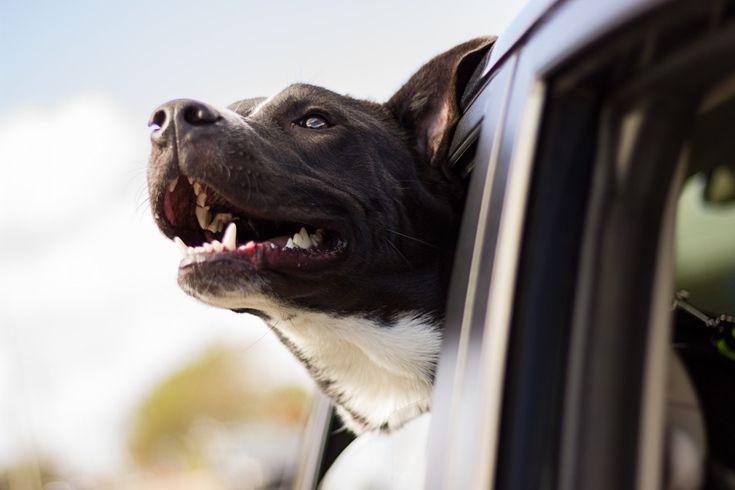 Descargar  Imágenes gratis de  Perro viajando en el auto