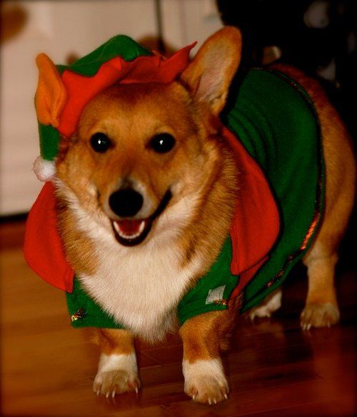 Tucker the Christmas Elf: Cutie Pets, Crazy Corgi, Christmas Elf, I Love Christmas, Corgi Lady, Corgi Disorders, Obsession Corgi