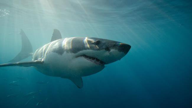 Great white sharks endangered: The California Fish and Game Commission voted Wednesday to recommend protection of the great white shark in waters along the Pacific Coast, under the state's endangered species law. IMAGE  (Oxford Scientific: File)