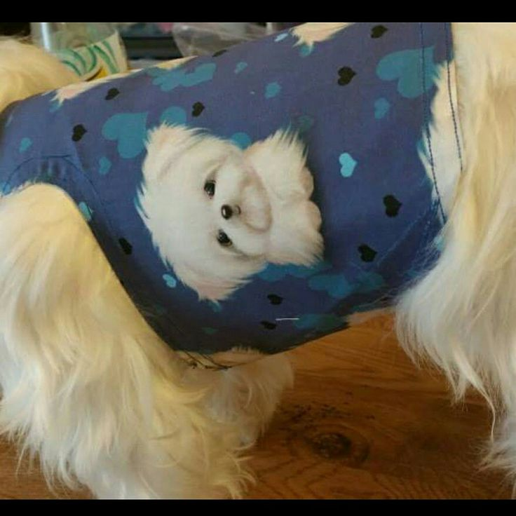 #Maltese  waistcoat for the boys made and sold by Pixies Posh Pets or email us at Pixiesposhpets@yahoo.co.uk