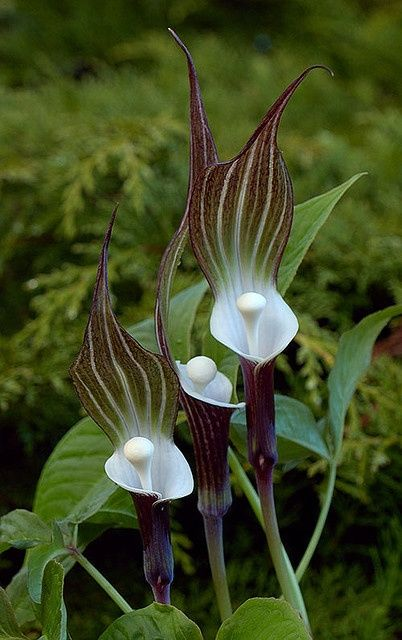 Arisaema sikokianum (Japanese Jack-in-the-Pulpit) is a herbaceous perennial plant. An unusual woodland plant noted for its unmistakable smoky-purple base, snow-white cup and large hood with purple, green and white stripes. Found only in moist, shaded areas on the Island of Shikoku in Japan. It is distantly related to Arisaema triphyllum which is common to eastern United States. In home gardens, it is a springtime planting and is often placed with shade-loving hostas and Bleeding hearts.