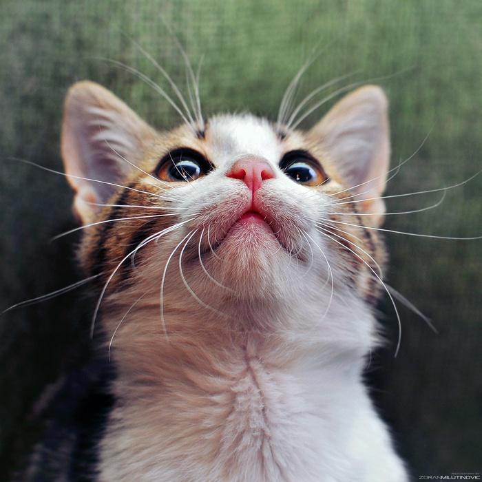 Beauty: Zoran Milutinov, Beautiful Cat, Cat Quotes, Kitty Cat, Zoranphoto With Deviantart, Cat Meow, Digital Photos, Cat Lovers, Adorable Animal
