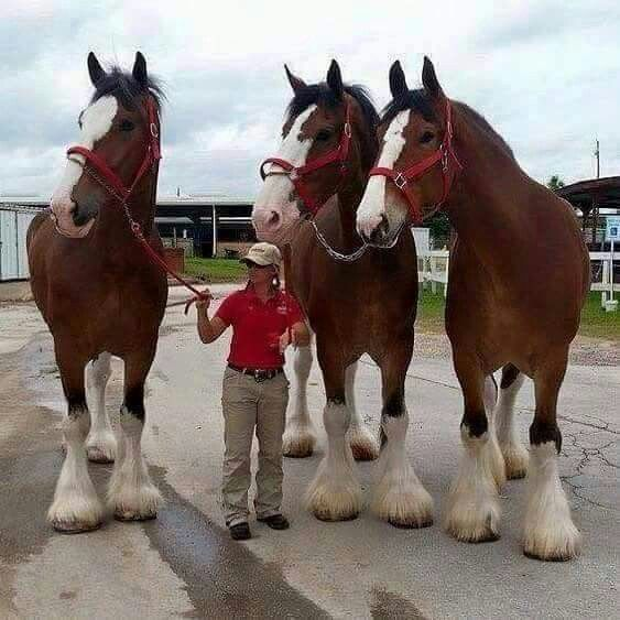 Clydesdales--WOW!!!