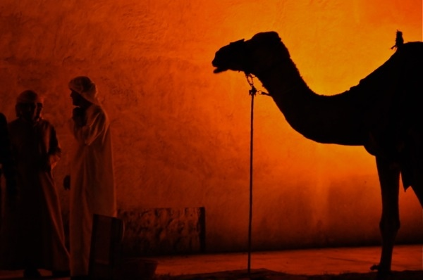 Dubai camel in silhouette