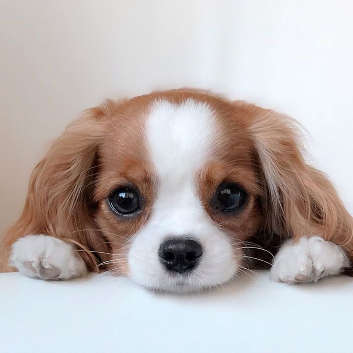 Tiniest Cavalier Puppy Nessa Cute Dogs Puppies Cute Dogs And Puppies