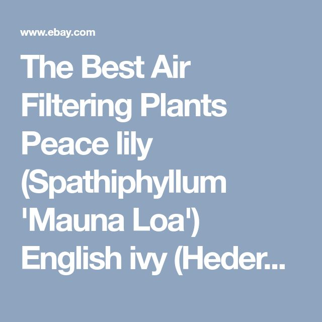 The Best Air Filtering Plants Peace lily (Spathiphyllum 'Mauna Loa') English ivy (Hedera helix) Spider plant (Chlorophytum comosum) Snake plant or mother-in-law's tongue (Sansevieria trifasciata'Laurentii') Rubber plant (Ficus elastica) Elephant ear (Philodendron domesticum) Weeping fig (Ficus benjamina) Gerbera daisy or Barberton daisy (Gerbera jamesonii) Pot mum or florist's chrysanthemum (Chrysantheium morifolium)