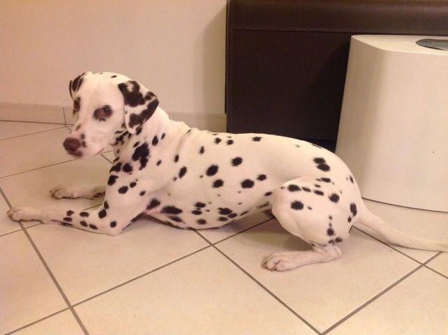 Kaly, chien Dalmatien